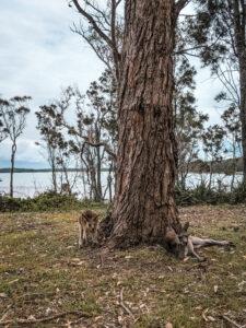 kangaroos by the tree